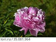 Пион розовый. Стоковое фото, фотограф Валентина Качалова / Фотобанк Лори