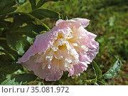 Пион после дождя. Стоковое фото, фотограф Валентина Качалова / Фотобанк Лори