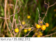 Poisonous weed (Solanum elaeagnifolium) with yellow, round fruits and a spider web with spiders close-up. Стоковое фото, фотограф Татьяна Ляпи / Фотобанк Лори