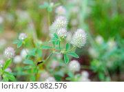 Клевер пашенный (лат. Trifolium arvense) крупным планом. Стоковое фото, фотограф Елена Коромыслова / Фотобанк Лори