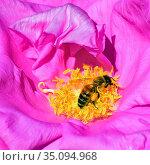 Пчела собирает пыльцу и нектар на цветке розы ругозы. Квадратный кадр, крупный план. Стоковое фото, фотограф Владимир Литвинов / Фотобанк Лори