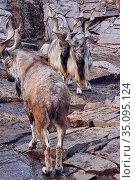 Markhor males on the rock. Стоковое фото, фотограф Азат Хайрутдинов / Фотобанк Лори