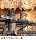 Moscow, Russia - October 25 2020: Japanese Macaque in Moscow zoo. Редакционное фото, фотограф Азат Хайрутдинов / Фотобанк Лори