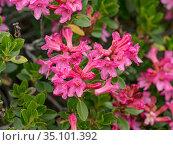 Hairy alpenrose (Rhododendron hirsutum) at 2200m. Valparola Pass, near Cortina, Dolomites, Belluno, Italy. July. Стоковое фото, фотограф Paul  Harcourt Davies / Nature Picture Library / Фотобанк Лори