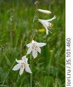 St Bruno's lily (Paradisea liliastrum). Dolomites, Italy. June. Стоковое фото, фотограф Paul  Harcourt Davies / Nature Picture Library / Фотобанк Лори