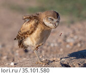 Burrowing owl (Athene cunicularia) juvenile having difficulties with... Стоковое фото, фотограф Jack Dykinga / Nature Picture Library / Фотобанк Лори