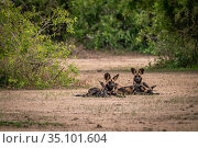 African wild dogs (Lycaon pictus) Gorongosa National Park, Mozambique... Стоковое фото, фотограф Jen Guyton / Nature Picture Library / Фотобанк Лори