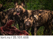 African wild dogs (Lycaon pictus) feeding on a waterbuck in Gorongosa... Стоковое фото, фотограф Jen Guyton / Nature Picture Library / Фотобанк Лори