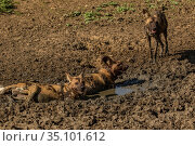 African wild dogs (Lycaon pictus) walowing in mud, Gorongosa National... Стоковое фото, фотограф Jen Guyton / Nature Picture Library / Фотобанк Лори