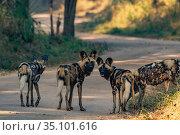 African wild dogs (Lycaon pictus) stand on the road in Gorongosa National... Стоковое фото, фотограф Jen Guyton / Nature Picture Library / Фотобанк Лори