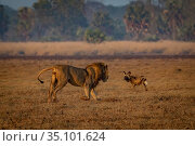 African wild dogs (Lycaon pictus), encounter a male Lion (Panthera... Стоковое фото, фотограф Jen Guyton / Nature Picture Library / Фотобанк Лори