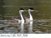 Western grebes (Aechmophorus occidentalis). Yellowstone National Park, Wyoming, USA. Стоковое фото, фотограф George Sanker / Nature Picture Library / Фотобанк Лори