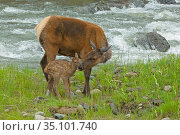 Elk (Cervus canadensis) female licking newborn calf, . Yellowstone National Park, Wyoming, USA. Стоковое фото, фотограф George Sanker / Nature Picture Library / Фотобанк Лори