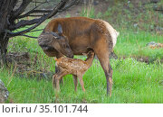 Elk (Cervus canadensis) female with newborn calf suckling, Yellowstone National Park, Wyoming, USA. Стоковое фото, фотограф George Sanker / Nature Picture Library / Фотобанк Лори