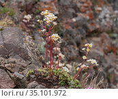 Lifelong saxifrage (Saxifraga paniculata) growing amongst rocks at 2700m. Fassa Valley, Trentino, Dolomites, Italy. June. Стоковое фото, фотограф Paul  Harcourt Davies / Nature Picture Library / Фотобанк Лори