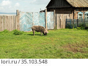 A sprouted sow with dirty sides grazes on a green lawn near a wooden gate in front of a hut on a village street. Стоковое фото, фотограф Светлана Попова / Фотобанк Лори