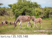Wild zebra with the cub. Стоковое фото, фотограф Art Konovalov / Фотобанк Лори