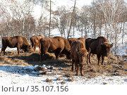 A herd of European bison feeding on winter mountains. Altai Republic, Russia. Стоковое фото, фотограф Наталья Волкова / Фотобанк Лори