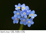 Wood Forget-me-not (Myosotis sylvatica) flowering in forest, Germany. Стоковое фото, фотограф Ingo Arndt / Nature Picture Library / Фотобанк Лори