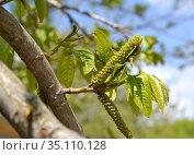 Сережки лапины ясенелистной (Pterocarya fraxinifolia) на фоне голубого неба. Стоковое фото, фотограф Ирина Борсученко / Фотобанк Лори