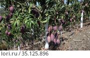 Harvesting. Ripe purple mangoes hanging in green leaves on tree branches in fruit garden. Стоковое видео, видеограф Яков Филимонов / Фотобанк Лори