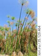 Papyrus sedge or Nile grass (Cyperus papyrus) is an aquatic perennial... Стоковое фото, фотограф J M Barres / age Fotostock / Фотобанк Лори