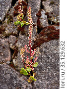 Navelwort or wall pennywort (Umbilicus rupestris) is a perennial ... Стоковое фото, фотограф J M Barres / age Fotostock / Фотобанк Лори