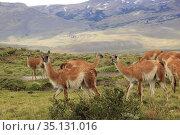 Guanacos, Torres Del Paine National Park, Chile. Стоковое фото, фотограф Matthew Lovette / age Fotostock / Фотобанк Лори