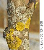 Xanthoria parietina, foliose, or leafy, lichen. It has many names such as common orange lichen, yellow scale, maritime sunburst lichen, shore lichen. Стоковое фото, фотограф Валерия Попова / Фотобанк Лори