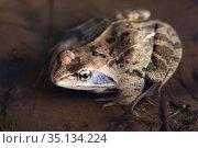 Остромордая лягушка, или болотная лягушка (лат. Rana arvalis), весной крупным планом в талой воде. Стоковое фото, фотограф Григорий Писоцкий / Фотобанк Лори