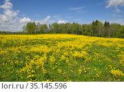 Весенний пейзаж с цветущим рапсом в солнечный день. Стоковое фото, фотограф Елена Коромыслова / Фотобанк Лори