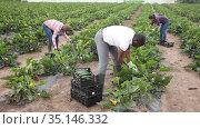 International team of farm workers hand harvesting organic zucchini crop on fertile agriculture land. Стоковое видео, видеограф Яков Филимонов / Фотобанк Лори