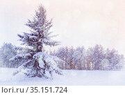 Зимний лес, заснеженная ель в зимнем лесу. Зимний пейзаж. Winter landscape - snowy fir tree in the forest under falling snow in cold evening. Стоковое фото, фотограф Зезелина Марина / Фотобанк Лори