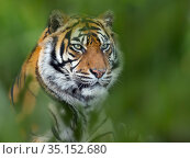 RF - Sumatran tiger (Panthera tigris sondaica) portrait, captive. Foliage digitally added. (This image may be licensed either as rights managed or royalty free.) Стоковое фото, фотограф Ernie Janes / Nature Picture Library / Фотобанк Лори