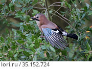 Jay (Garrulus glandarius) with acorn in beak, perched in Holm oak (Quercus ilex) tree. Norfolk, England, UK. October. Стоковое фото, фотограф Robin Chittenden / Nature Picture Library / Фотобанк Лори