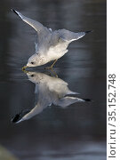 Common gull (Larus canus) flapping wings whilst drinking, reflected in ice. Norfolk, England, UK. November. Стоковое фото, фотограф Robin Chittenden / Nature Picture Library / Фотобанк Лори