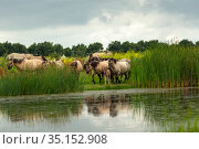 A herd of wild konik horses walking, with refection in water, Oostvaardersplassen Nature Reserve, Flevoland, Netherlands. Стоковое фото, фотограф Kristel Richard / Nature Picture Library / Фотобанк Лори