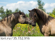 Two wild Konik horse stallions greeting one another, Oostvaardersplassen Nature Reserve, Flevoland, Netherlands. Стоковое фото, фотограф Kristel Richard / Nature Picture Library / Фотобанк Лори
