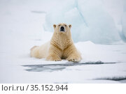 Polar bear (Ursus maritimus) resting, Svalbard, Spitzbergen, Arctic Norway May. Стоковое фото, фотограф Staffan Widstrand / Nature Picture Library / Фотобанк Лори