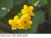 Caltha des marais (Caltha palustris), Departement d'Eure-et-Loir, ... Стоковое фото, фотограф Christian Goupi / age Fotostock / Фотобанк Лори