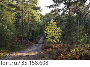 Birch tree, Forest of Rambouillet, Haute Vallee de Chevreuse Regional... Стоковое фото, фотограф Christian Goupi / age Fotostock / Фотобанк Лори