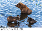Wild Kamchatka brown she-bear with two cubs fishing red salmon fish in river during fish spawning. Predators in natural habitat. Стоковое фото, фотограф А. А. Пирагис / Фотобанк Лори