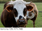 Cows in Eure, France. Стоковое фото, фотограф Philippe Lissac / Godong / age Fotostock / Фотобанк Лори
