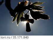 Cross against the light on a young chestnut leaf. France. Стоковое фото, фотограф Fred de Noyelle / Godong / age Fotostock / Фотобанк Лори