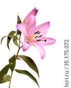 Pale lilac dyed oriental hybrid lily isolated on white. Стоковое фото, фотограф Tamara Kulikova / Фотобанк Лори