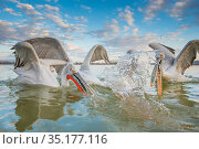 Dalmatian pelican (Pelicanus crispus) group squabbling over fish, Lake Kerkini, Greece. Стоковое фото, фотограф Edwin Giesbers / Nature Picture Library / Фотобанк Лори