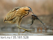Bittern (Botaurus stellaris) with marsh frog (Rana ridibundus) that... Редакционное фото, фотограф Bence Mate / Nature Picture Library / Фотобанк Лори