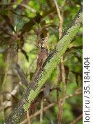 Boyd's forest dragon (Lophosaurus boydii) on tree trunk. Wet Tropics of Queensland, Australia. Стоковое фото, фотограф Jurgen Freund / Nature Picture Library / Фотобанк Лори
