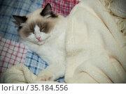Young beautiful purebred Ragdoll cat at home. Стоковое фото, фотограф Peredniankina / Фотобанк Лори
