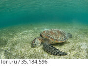 Green sea turtle (Chelonia mydas) feeding on Seagrass bed in shallow... Стоковое фото, фотограф Jurgen Freund / Nature Picture Library / Фотобанк Лори